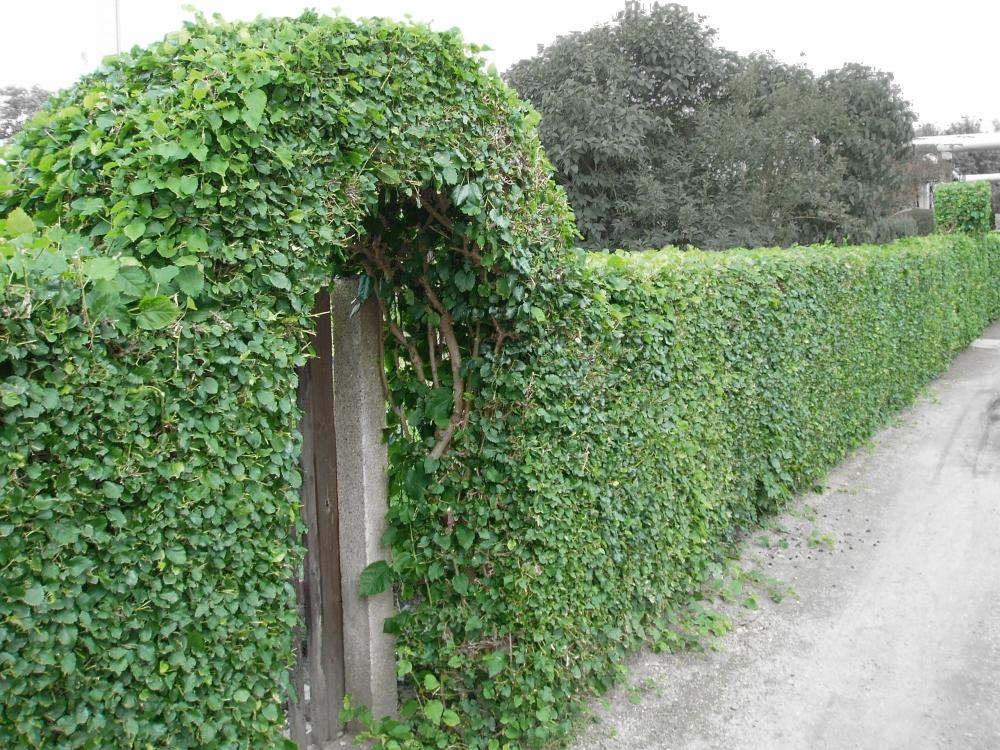 Изготовления «живых» изгородей на частных участках